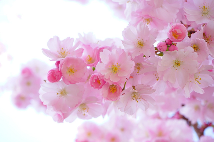 fiori di ciliegio giapponese - My Way Blog su Cucino di te